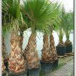 Mediterrán növények XI. kerület, pálma, yukka, agave Kelenföld